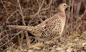 hen pheasant feeding on game pellets